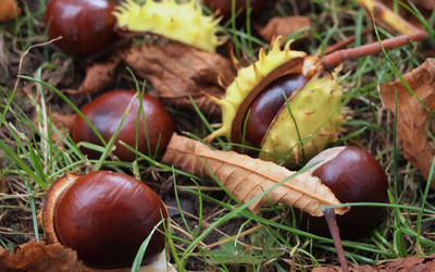 Chestnuts on the grass wallpaper
