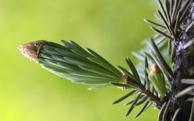Close-up of pine branch wallpaper