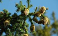 Cones in pine tree wallpaper 1920x1200 jpg