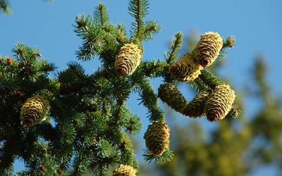 Cones in pine tree wallpaper
