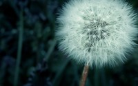 Dandelion wallpaper 2560x1600 jpg
