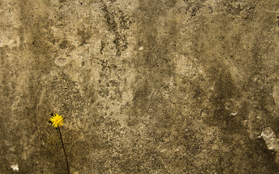 Dandelion in front of a wall wallpaper