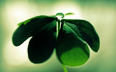 Dew drop on a clover wallpaper