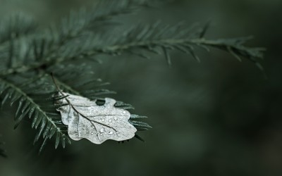 Fallen oak leaf on a fir branch wallpaper
