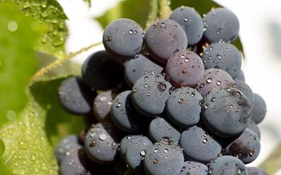 Fresh black grape wallpaper
