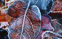 Frosty leaves wallpaper 1920x1080 jpg