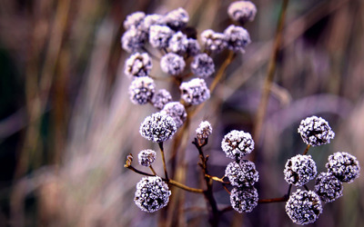Frozen flower buds wallpaper
