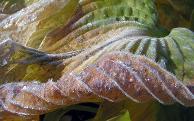 Frozen leaf [2] wallpaper