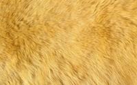 Ginger fur wallpaper 2560x1600 jpg