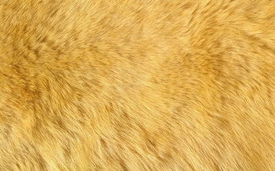 Ginger fur wallpaper
