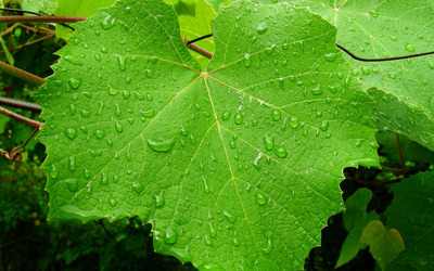 Grape leaf with water drops wallpaper