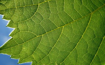 Green leaf close-up wallpaper
