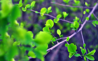 Green leaves on a branch wallpaper