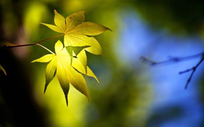 Green maple leaves wallpaper