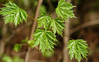 Green maple leaves [2] wallpaper 3840x2160 jpg