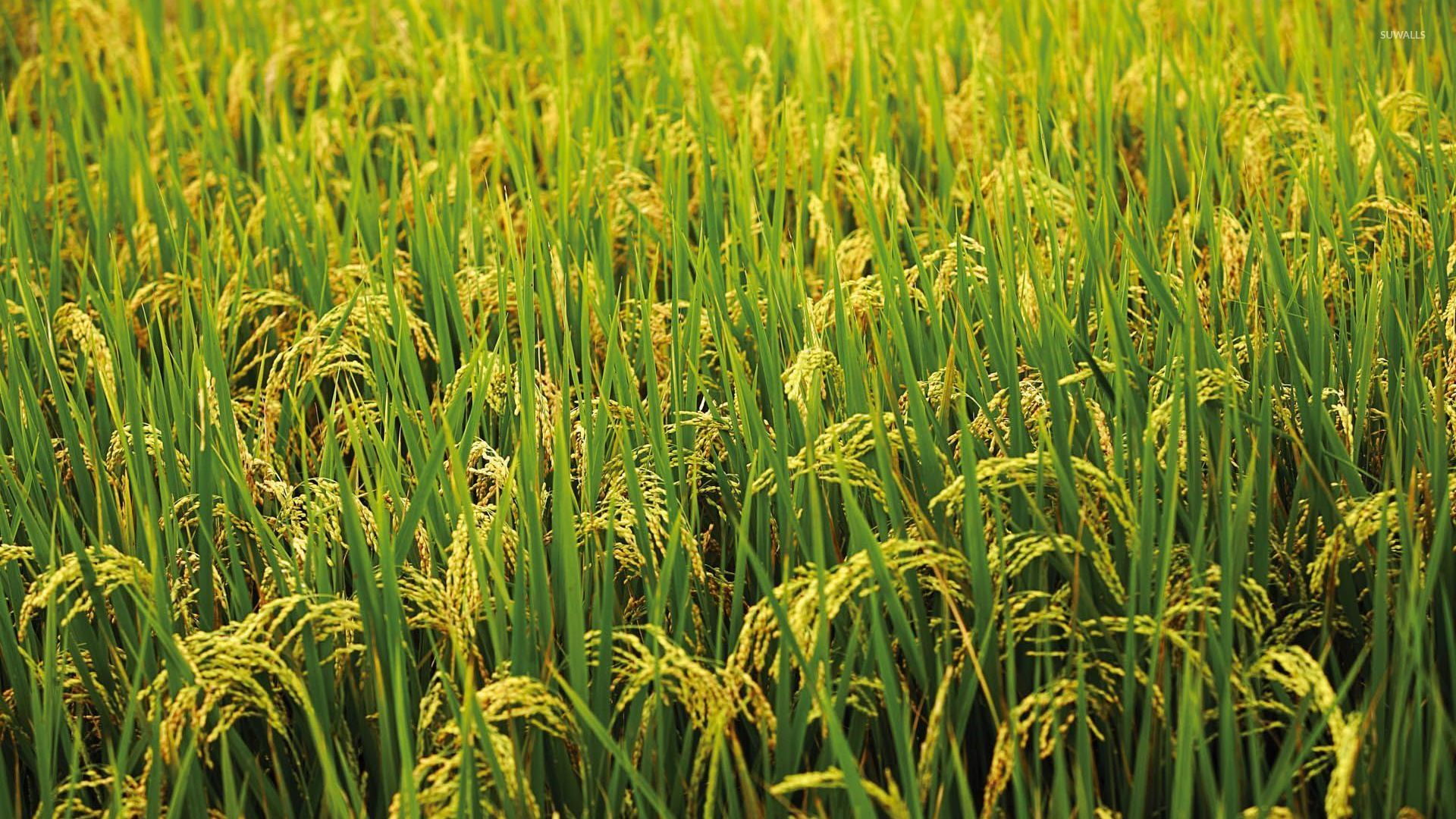 green rice field wallpaper photography wallpapers 54517