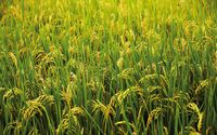 Green rice field wallpaper 1920x1200 jpg