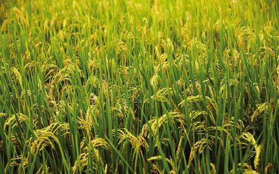 Green rice field Wallpaper