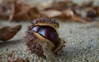 Horse-chestnut conker wallpaper 3840x2160 jpg