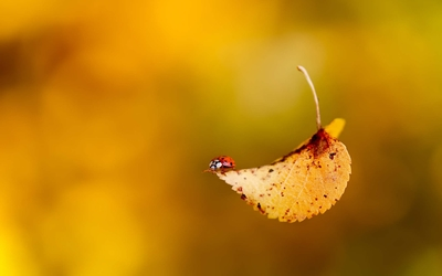 Ladybug on a autumn leaf wallpaper