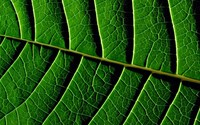 Leaf veins wallpaper 1920x1080 jpg