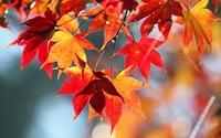 Maple leaves wallpaper 2560x1600 jpg