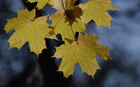 Maple leaves [2] wallpaper 1920x1200 jpg