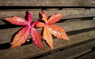 Maple leaves on a wooden bench wallpaper