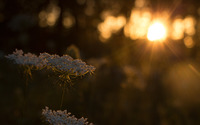 Milk Parsley in the sunset wallpaper 2560x1600 jpg