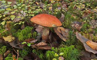 Mushroom [5] wallpaper