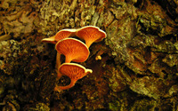 Mushrooms [13] wallpaper 2560x1600 jpg