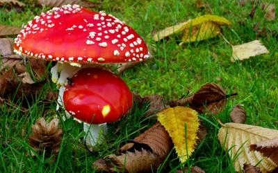 Mushrooms [2] wallpaper