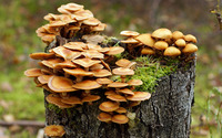 Mushrooms growing on a tree trunk wallpaper 3840x2160 jpg