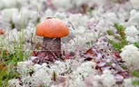 Orange mushroom rising through the autumn leaves wallpaper 2560x1600 jpg