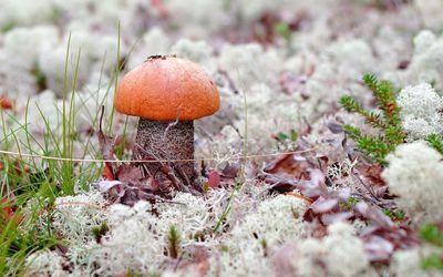 Orange mushroom rising through the autumn leaves Wallpaper
