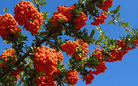 Orange small fruits on branches wallpaper 2560x1600 jpg