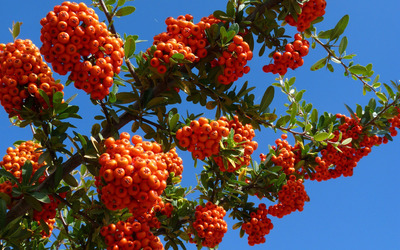 Orange small fruits on branches wallpaper