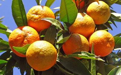 Oranges in the tree wallpaper