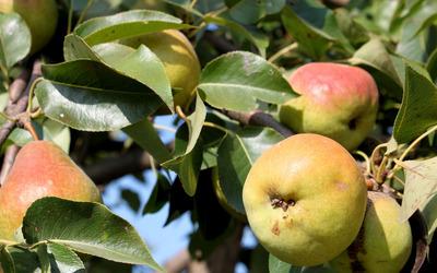 Pears [3] wallpaper