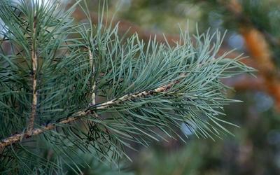 Pine branch wallpaper