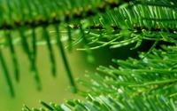 Pines close up wallpaper 2560x1600 jpg