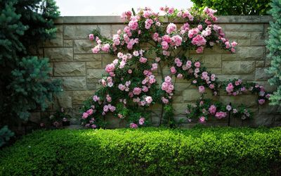 Pink roses on a stone fence wallpaper
