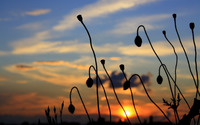Poppy buds at sunset wallpaper 2560x1600 jpg