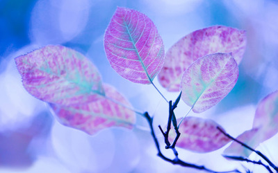 Purple leaves on a branch wallpaper