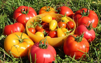 Red and yellow tomatoes wallpaper