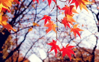 Red autumn leaves [2] wallpaper 2560x1600 jpg
