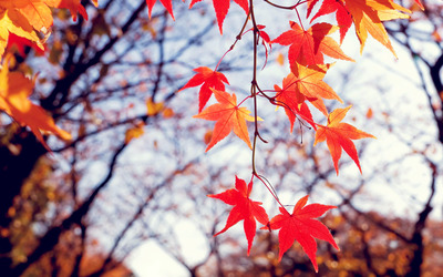 Red autumn leaves [2] wallpaper