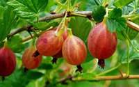 Red gooseberries [2] wallpaper 2880x1800 jpg