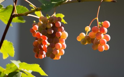 Red grapes in the soft sunlight wallpaper