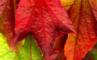 Red leaf wallpaper 2560x1600 jpg